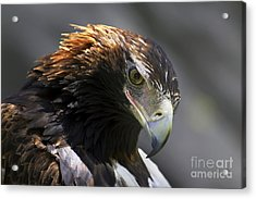 Wedge Tail Eagle Acrylic Print
