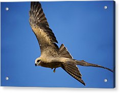 Wedgetail Eagle Flight Acrylic Print by Mike  Dawson