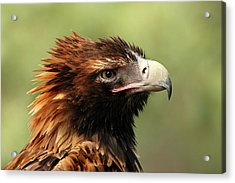 Wedge-tailed Eagle Acrylic Print by Marion Cullen