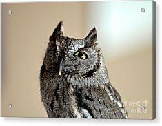 Wee Western Screech Owl Acrylic Print
