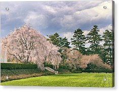 Acrylic Print featuring the photograph Weeping Cherry In Bloom by Jessica Jenney