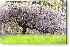 Acrylic Print featuring the photograph Weeping Japanese Cherry Tree by Charline Xia