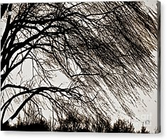 Weeping Willow Tree  Acrylic Print by Carol F Austin