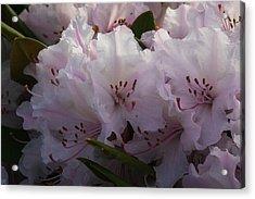 Weigela Blossom Acrylic Print