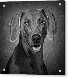Weimaraner In Black And White Acrylic Print