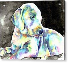 Weimeraner Puppy Acrylic Print