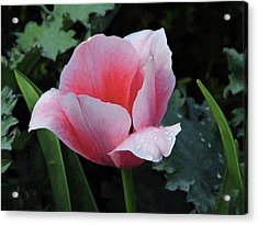 Welcome Tulip Acrylic Print by Penny Lisowski