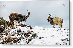 Welsh Mountain Goats Acrylic Print