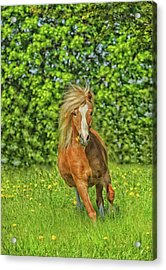 Welsh Pony Acrylic Print