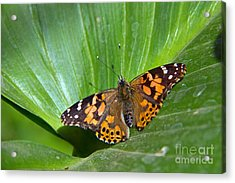 West Coast Lady Butterfly Acrylic Print