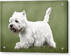 Acrylic Print featuring the photograph West Highland Terrier Trotting by Ethiriel  Photography
