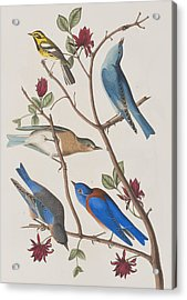 Western Blue-bird Acrylic Print