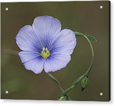 Acrylic Print featuring the photograph Western Blue Flax by Ben Upham III