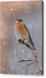 Western Bluebird In Winter Acrylic Print by Jennifer Nelson