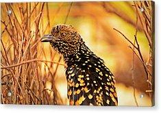 Western Bowerbird Acrylic Print by Racheal  Christian