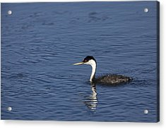 Western Grebe In Late Afternoon Light Acrylic Print