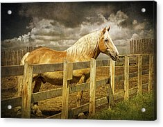 Western Horse In Alberta Canada Acrylic Print by Randall Nyhof