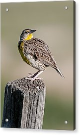 Acrylic Print featuring the photograph Western Meadowlark by Gary Lengyel
