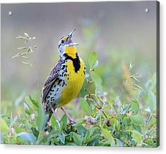 Western Meadowlark Acrylic Print by Jack Bell