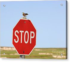 Western Meadowlark Singing On Top Of A Stop Sign Acrylic Print by Louise Heusinkveld