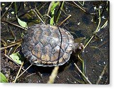 Western Pond Turtle, Actinemys Marmorata Acrylic Print