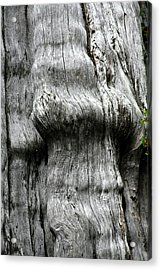 Western Red Cedar - Thuja Plicata - Olympic National Park Wa Acrylic Print by Christine Till