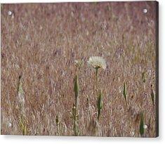 Western Salsify Seed Head Acrylic Print
