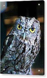 Acrylic Print featuring the photograph Western Screech Owl by Anthony Jones
