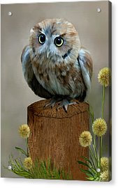 Western Screech Owl Acrylic Print
