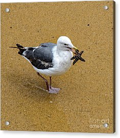 Western Seagull Carrying A Starfish Acrylic Print