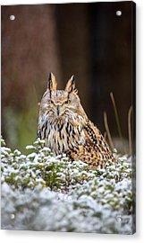 Western Siberian Owl Acrylic Print