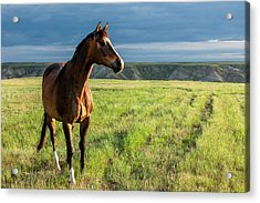 Western Stallion Acrylic Print by Todd Klassy