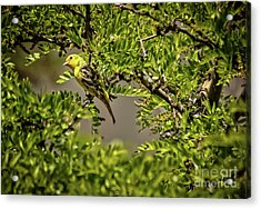 Western Tanager Acrylic Print by Robert Bales