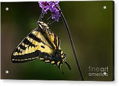 Western Tiger Swallowtail Butterfly On Purble Verbena Acrylic Print