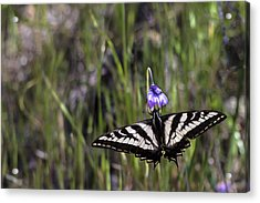 Western Tiger Swallowtail Acrylic Print