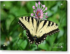 Acrylic Print featuring the photograph Western Tiger Swallowtail by Frank Stallone