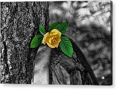 Western Yellow Rose Two Tone Acrylic Print