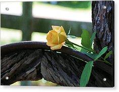 Western Yellow Rose Vii Acrylic Print