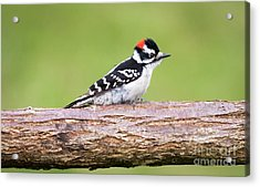 Acrylic Print featuring the photograph Wet Downy Woodpecker  by Ricky L Jones