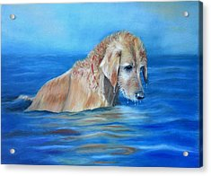 Acrylic Print featuring the painting Wet Godden Retriever by Ceci Watson