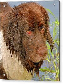 Acrylic Print featuring the photograph Wet Newfie by Debbie Stahre