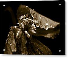 Wet Opium Poppy Acrylic Print by Frank Tschakert