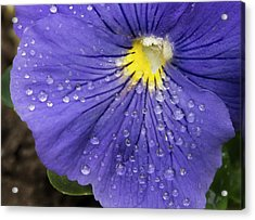 Acrylic Print featuring the photograph Wet Pansy by Jean Noren