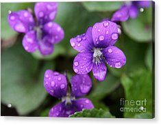Wet Purple Violets Acrylic Print by Chris Hill