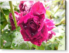 Wet Rose Acrylic Print