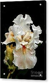 Wet White Iris Acrylic Print by Robert Bales