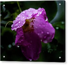 Acrylic Print featuring the photograph Wet Wild Rose by Darcy Michaelchuk