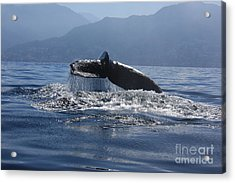 Acrylic Print featuring the photograph Whale Fluke by Nicola Fiscarelli