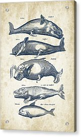 Whale Historiae Naturalis 08 - 1657 - 41 Acrylic Print by Aged Pixel