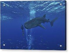 Whale Shark And Diver, Maldives Acrylic Print by Mathieu Meur